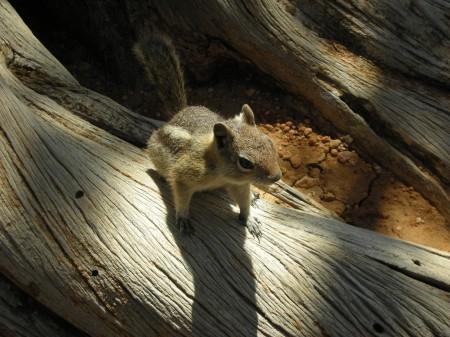Brice Canyon scoiattolo