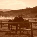 Coccole fra cavalli Sorrel
